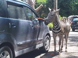 Wisata Bromo Taman Safari Prigen